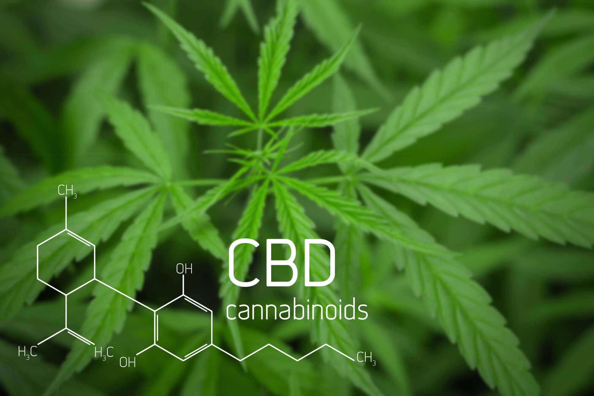 What Are The Highest CBD Strains?